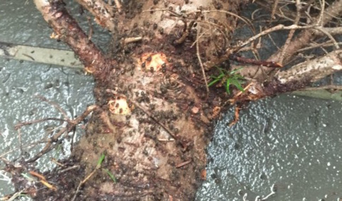 Christmas Tree Aphids.Washington D C Woman Makes Unpleasant Discovery On Her