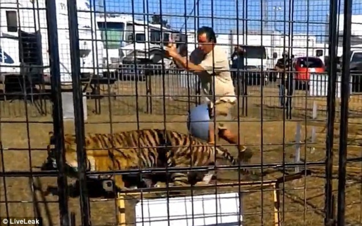 Tiger Attacks Trainer In Front Of School Group (Video) - Opposing Views