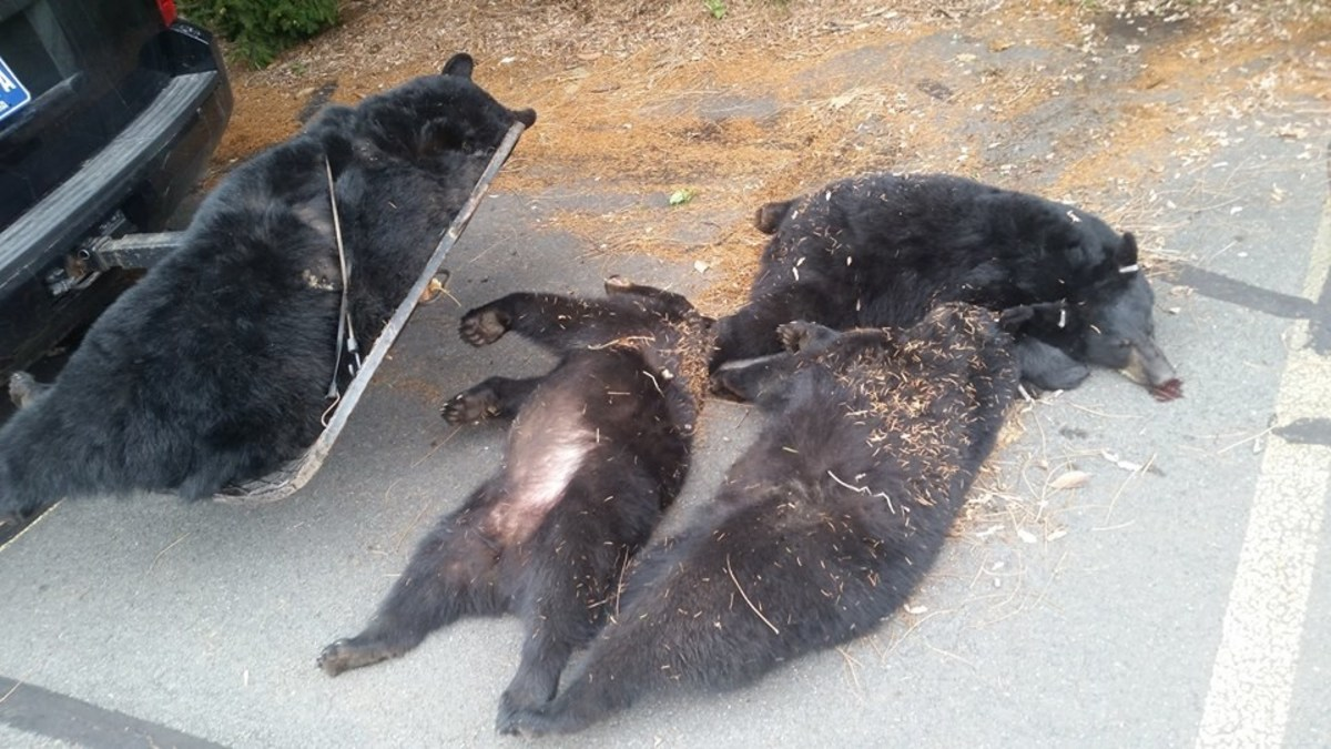 Investigators Uncover Cause Of 'Suspicious' Bear Deaths Promo Image