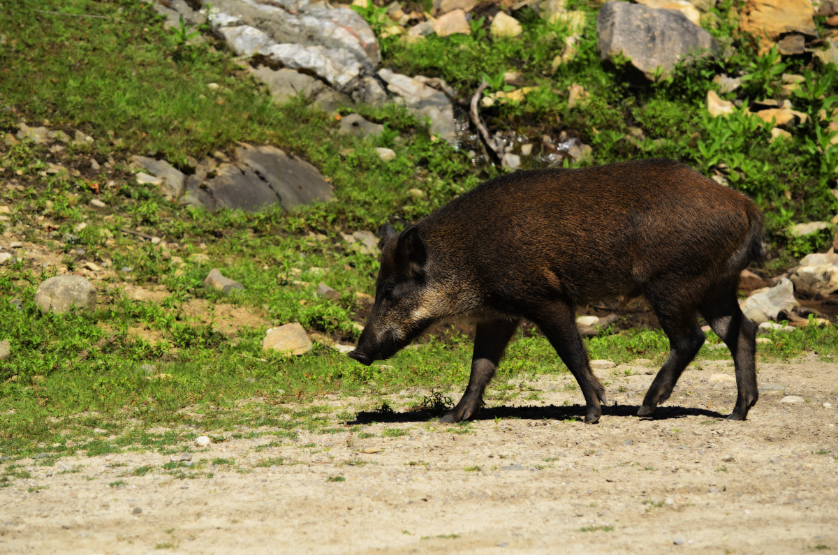 Man Shoots 820-Pound Wild Hog In His Front Yard (Photos) Promo Image