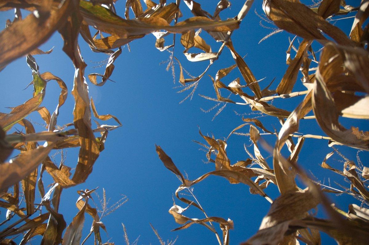 Parents Abandon Child In Corn Maze Promo Image