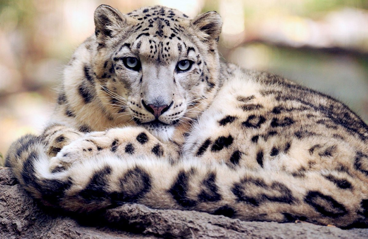 Snow Leopard Downgraded From Endangered To Vulnerable Promo Image