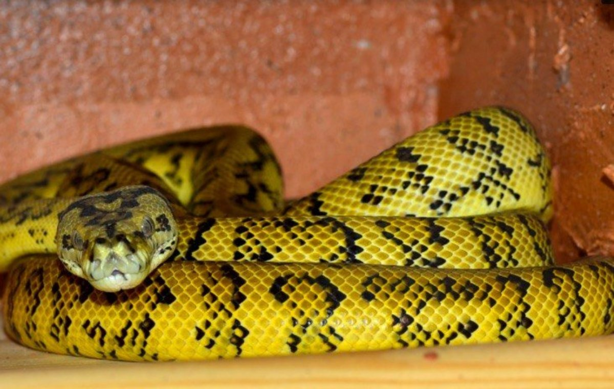 Snake Catcher Dies After Being Strangled By Python Promo Image