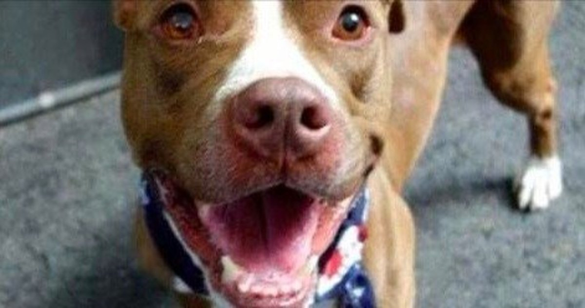 Less Than 30 Minutes After Adopting This Pit Bull, Family's Happiness Turns To Horror Promo Image