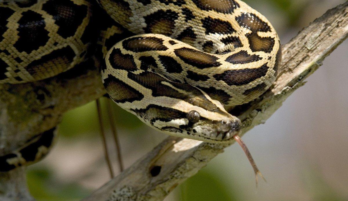 Record-Breaking Python Found In Florida Everglades (Photos) Promo Image